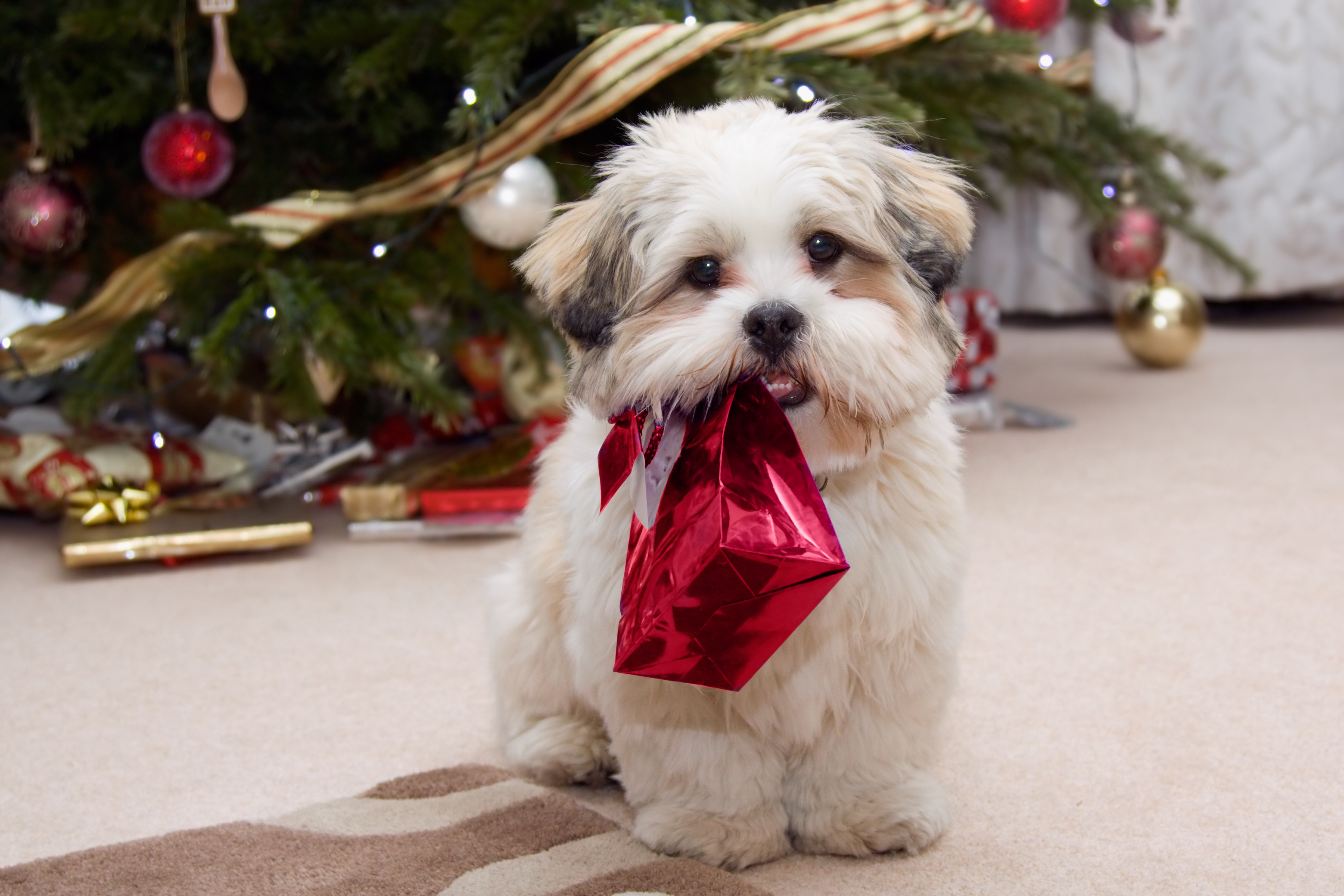 lhasa-apso-puppy-at-christmas