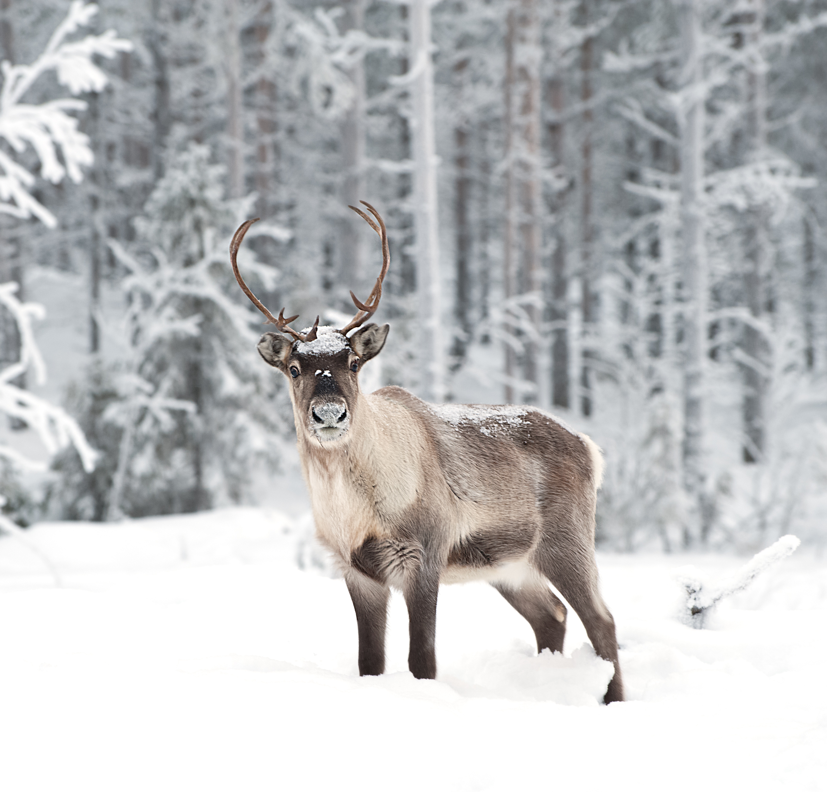 reindeer-in-scandinavia