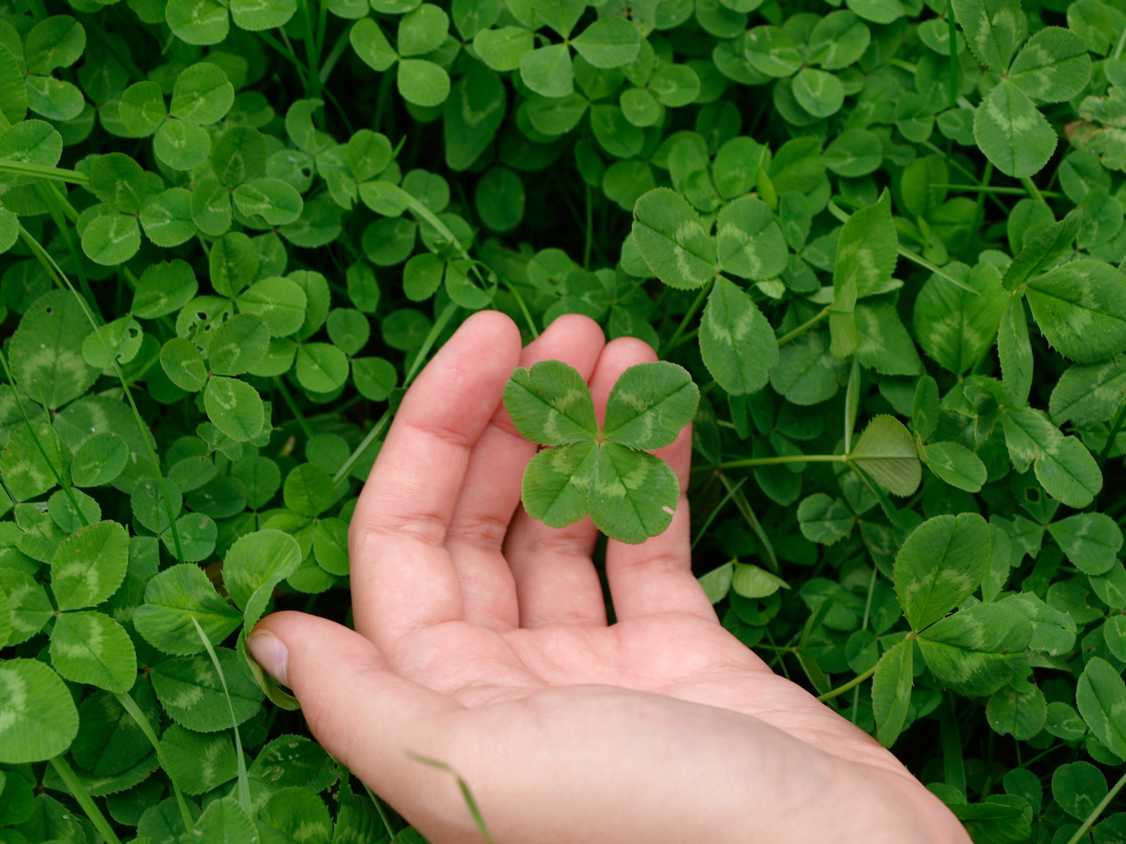 4 Fun Facts About Four Leaf Clovers