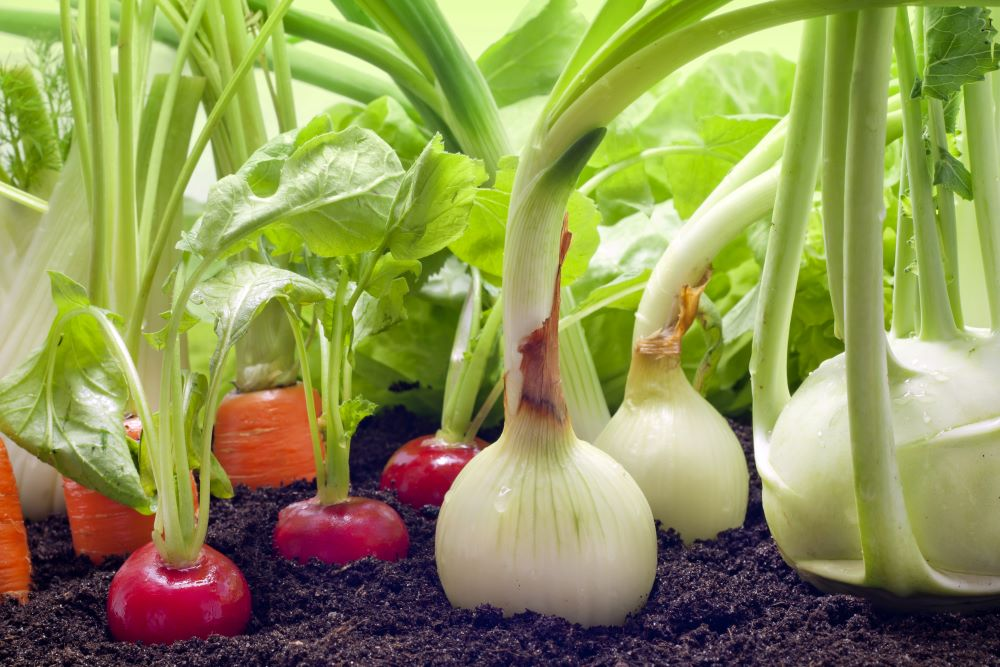Onions Radishes And Carrots In Vegetable Garden
