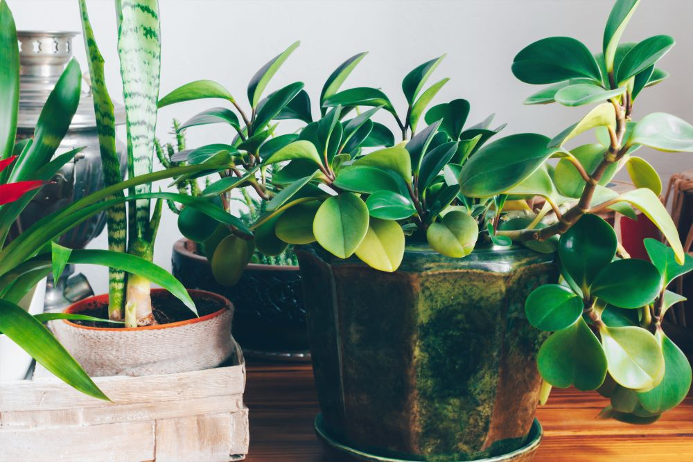 How To Grow Healthy Houseplant - Take Care Of Houseplant's Leaves