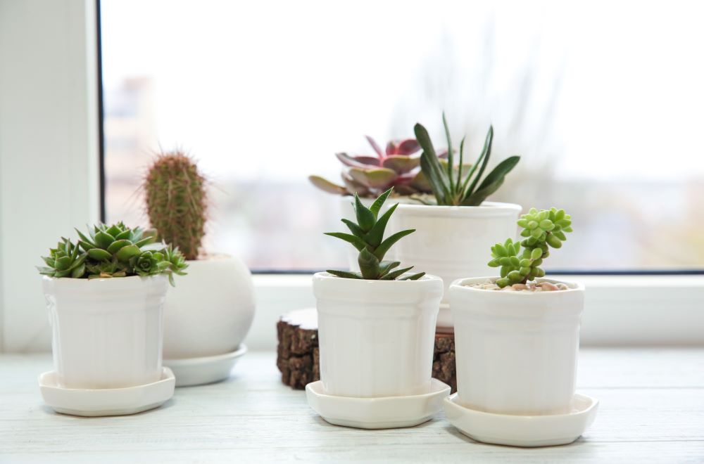 How To Care For Indoor Succulents - give them enough sunlight